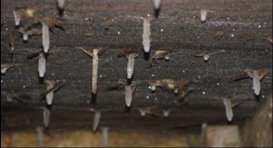 Attic Ceiling Mold With Frosted Nails in the Winter